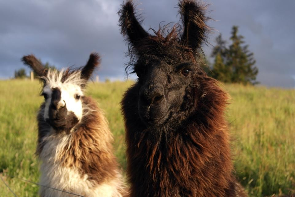 Team building with a difference - Llama Trekking aims to teach persuasion, patience, persistence and collaboration