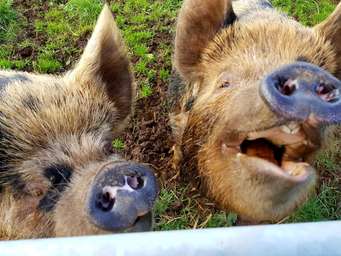 Southton Smallholding- Even the pigs have a smile on their face