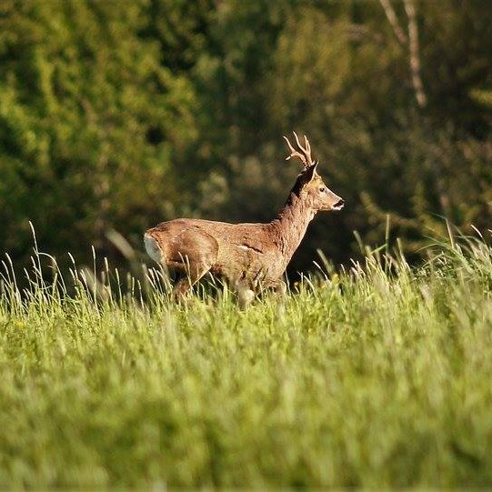 A deer grazing by the riverbank.
