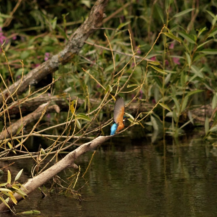 A beautiful Kingfisher by the banks of the River Tay.